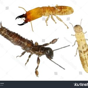 Termites With Wings Vector: Termites Development Stages Isolated On White