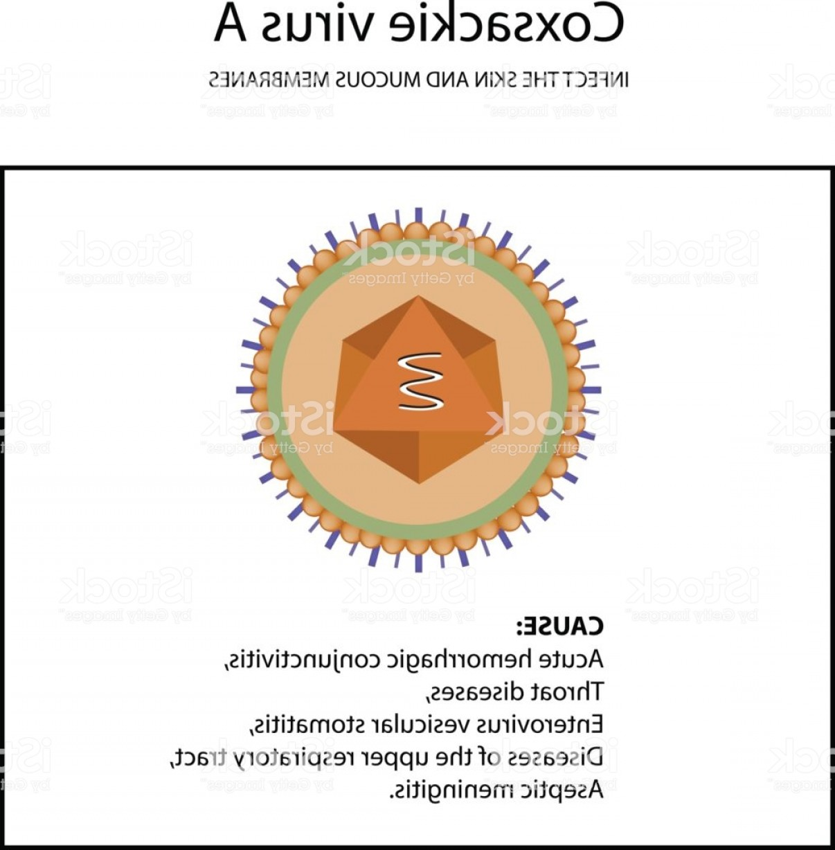 Vector Virus That Causes: The Structure Of Coxsackie Virus A Symptoms Of The Disease Enterovirus Infographics Gm