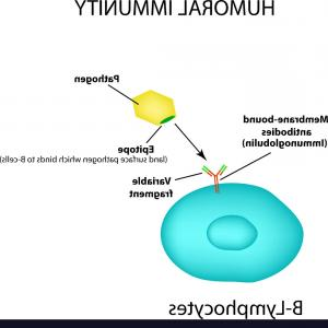 Vector Pathogen: The Humoral Immunity B Lymphocytes Antigen Vector