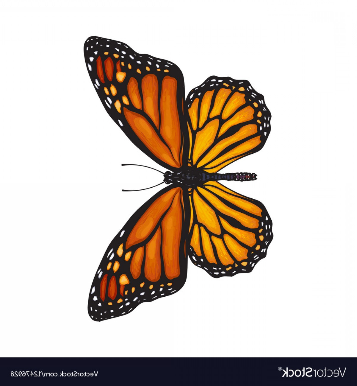 Real Butterfly Vector: Top View Of Beautiful Monarch Butterfly Isolated Vector