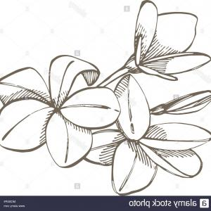 Plumeria Vector: Tropical Flowers Plumeria Vector Illustration Engraved Jungle Leaves Image
