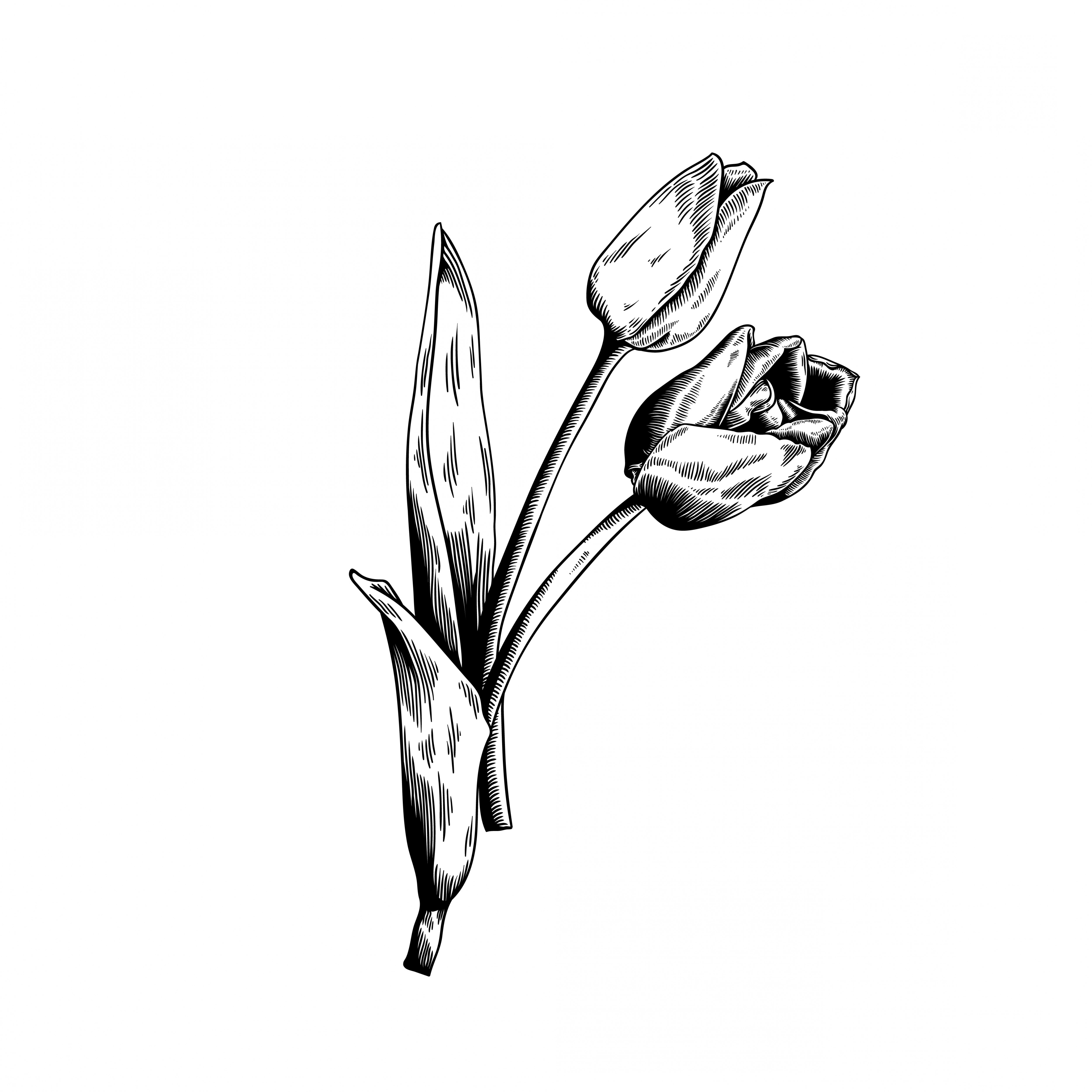 Tulip Icon Vector: Tulip Drawing Flower Nature Vector Icon On White Background
