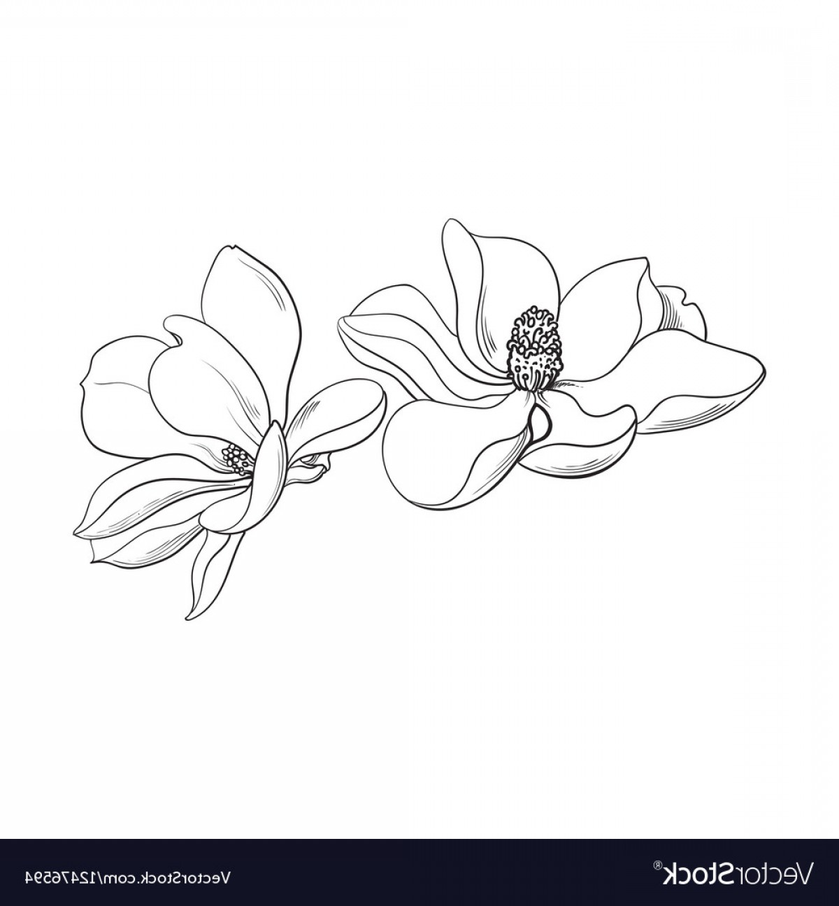 Magnolia Black And White Vector: Two Pink Magnolia Flowers Sketch Vector