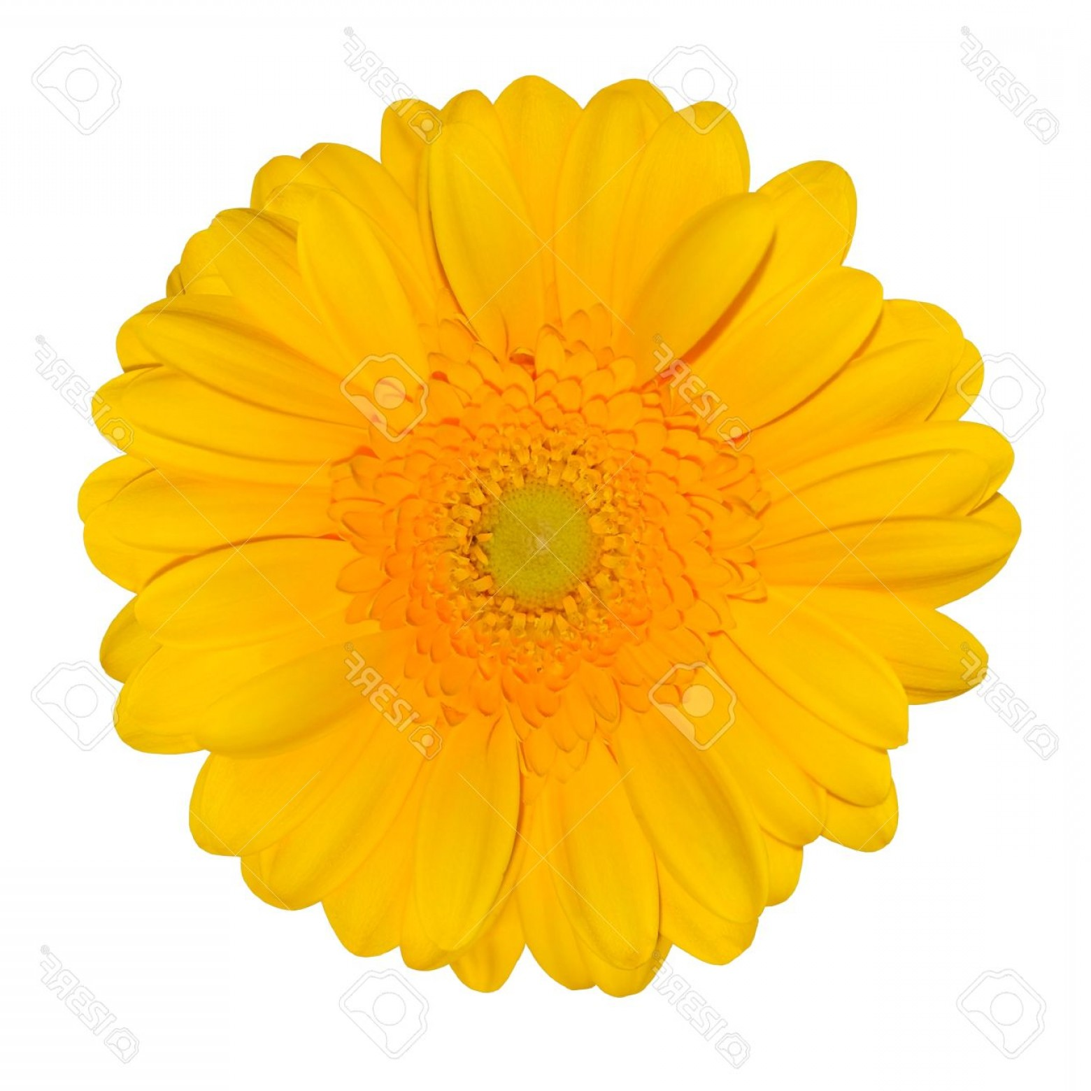 Orange Gerber Daisy Vector: Unique Photoyellow Gerbera Daisy Flower Head Isolated On White Background