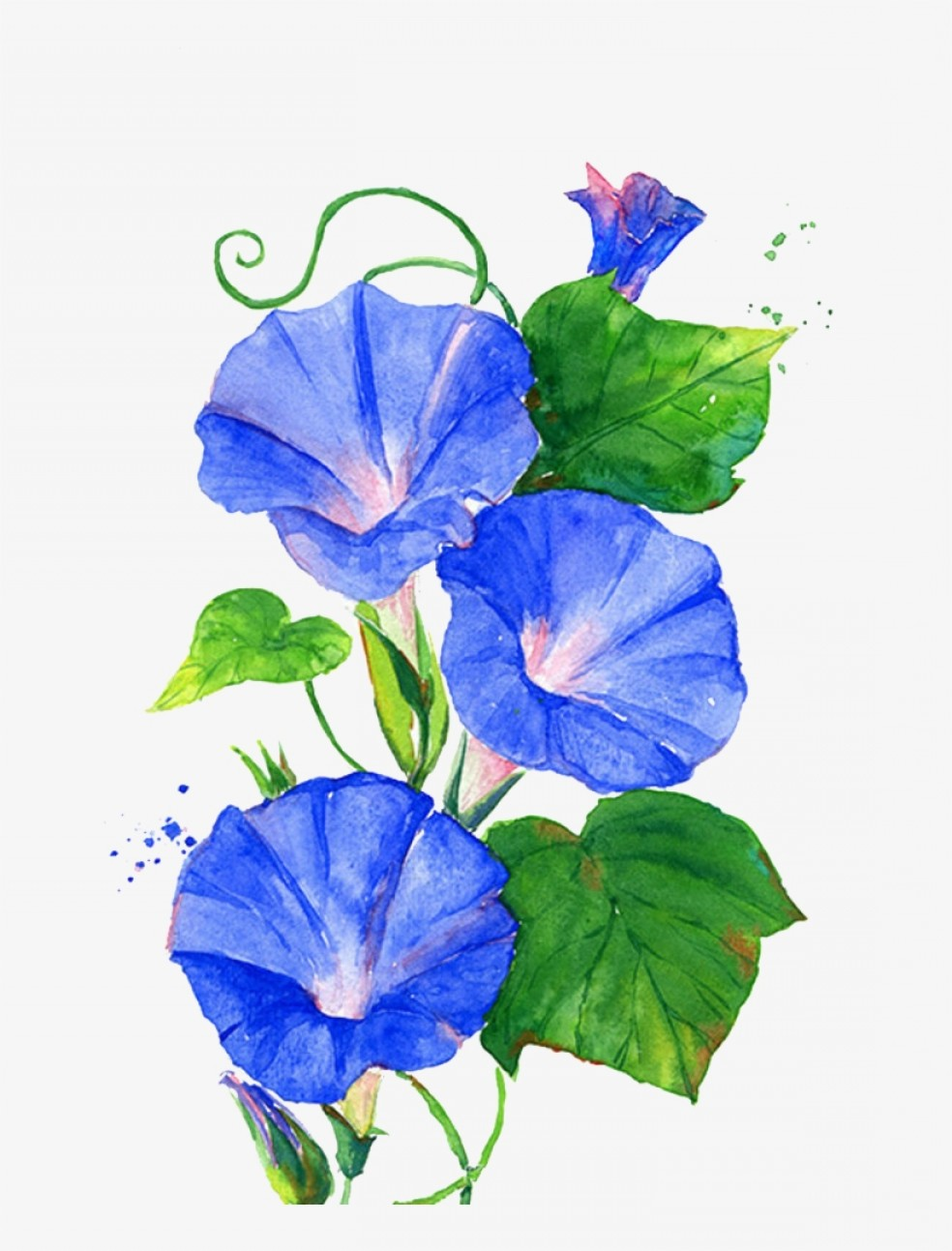 Morning Glory Transparent Vector: Uryuaqtwtrumpet Vine Png Morning Glory Flower Painting