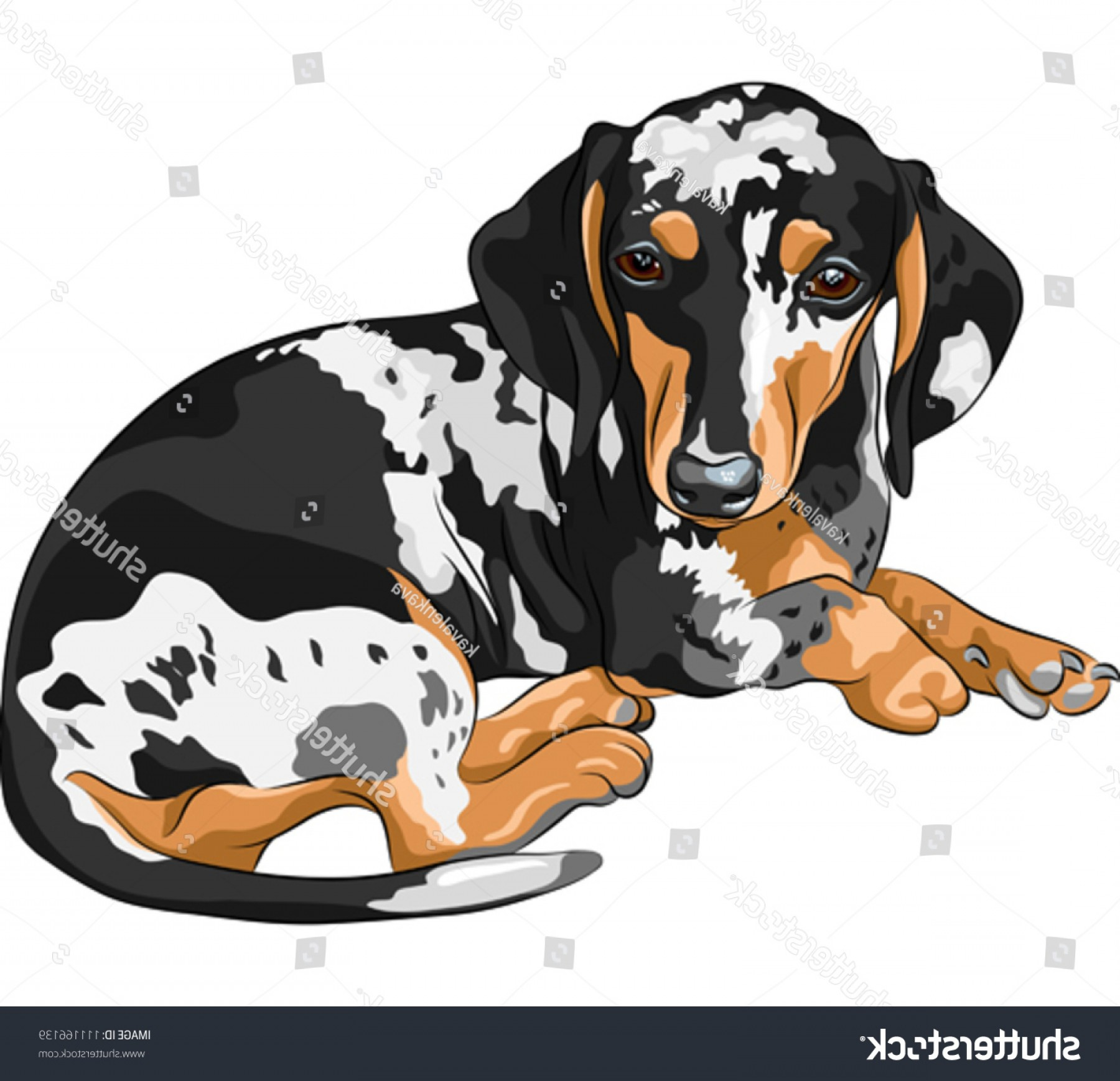 Double Boxer Dog Vector: Vector Black Tan Double Dapple Smoothhaired
