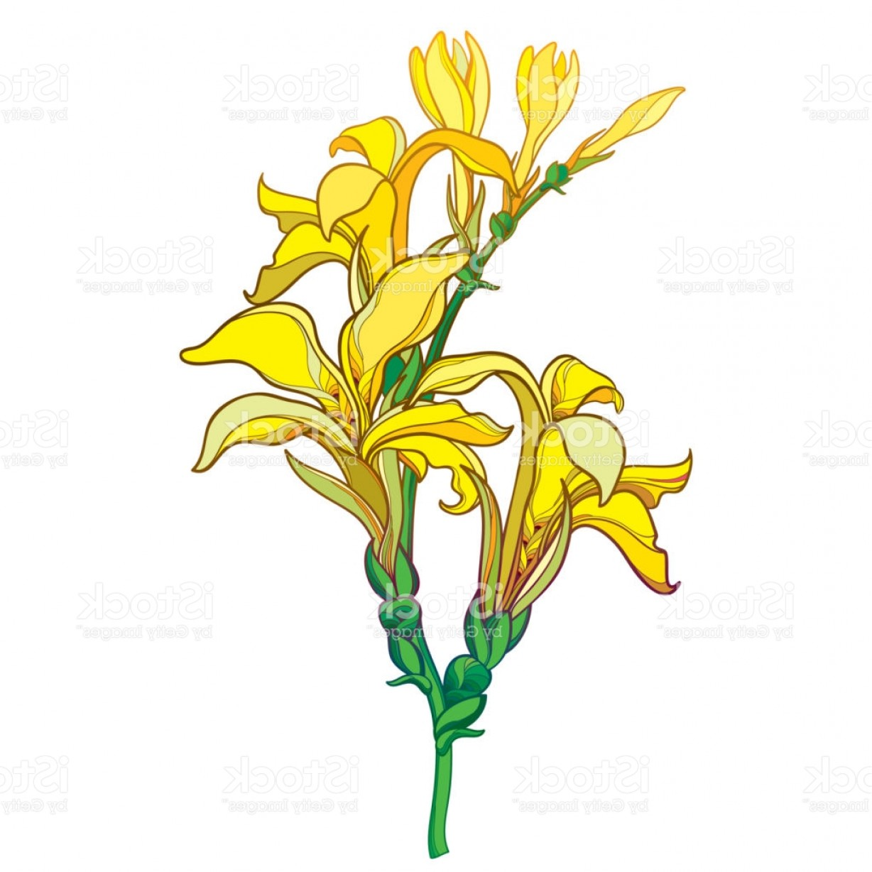 Bud Vector: Vector Branch With Outline Canna Lily Or Canna Flower Bunch And Bud In Yellow Gm
