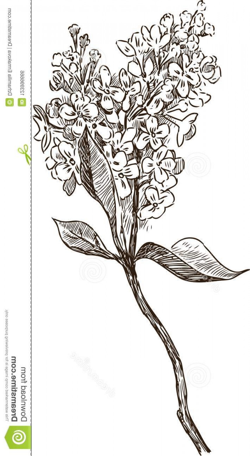 Lilac Vector Drawing: Vector Drawing Bunch Blooming Lilac Sketch Flowering Twig Lilac Image