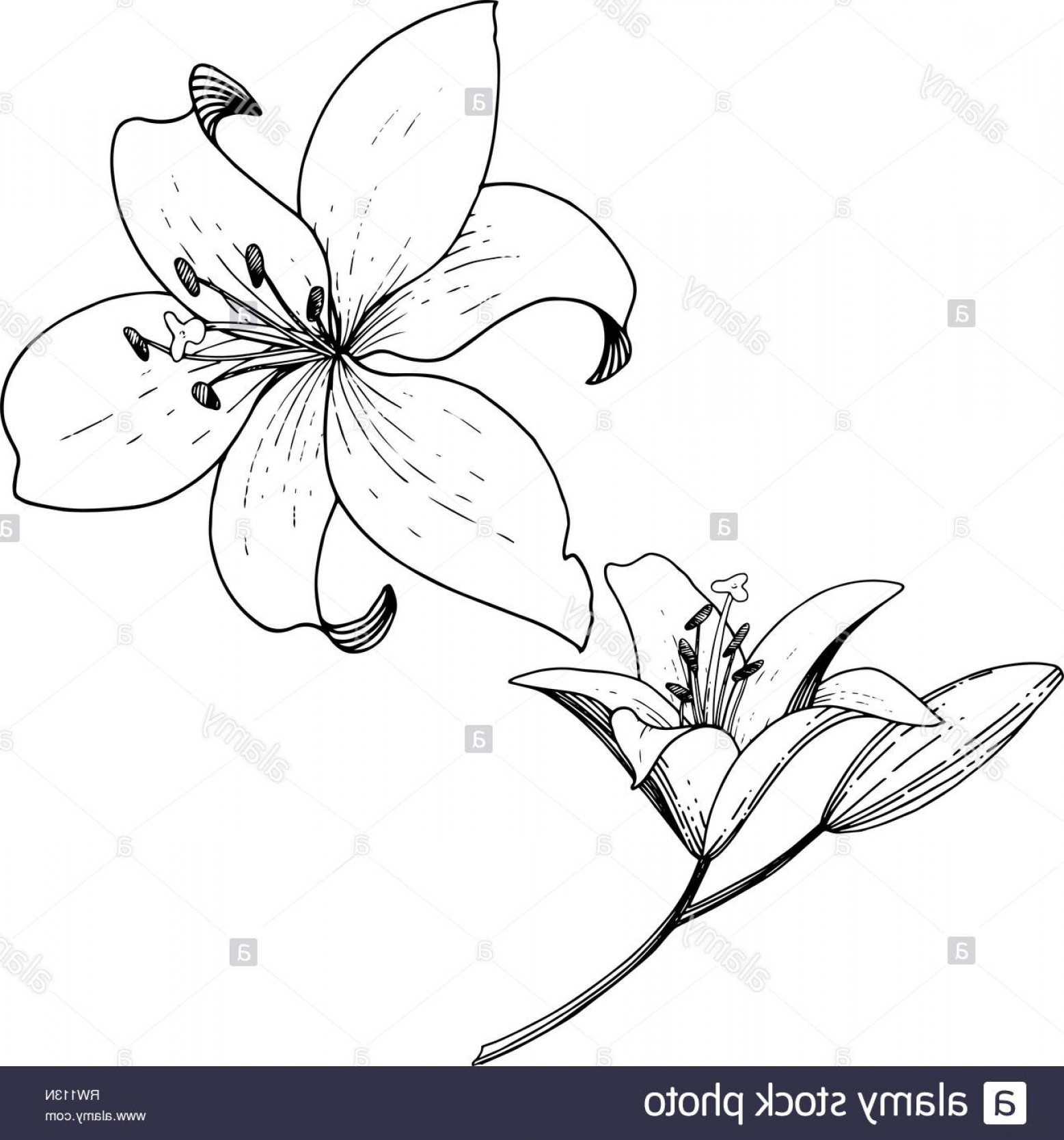 Lily Vector Art: Vector Lily Floral Botanical Flower Black And White Engraved Ink Art Isolated Lilies Illustration Element Image