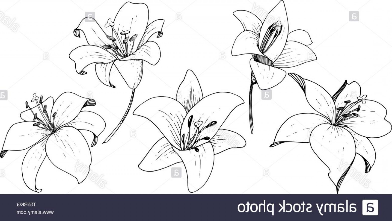 Lily Vector Art: Vector Lily Floral Botanical Flower Engraved Ink Art On White Background Isolated Lilium Illustration Element Image