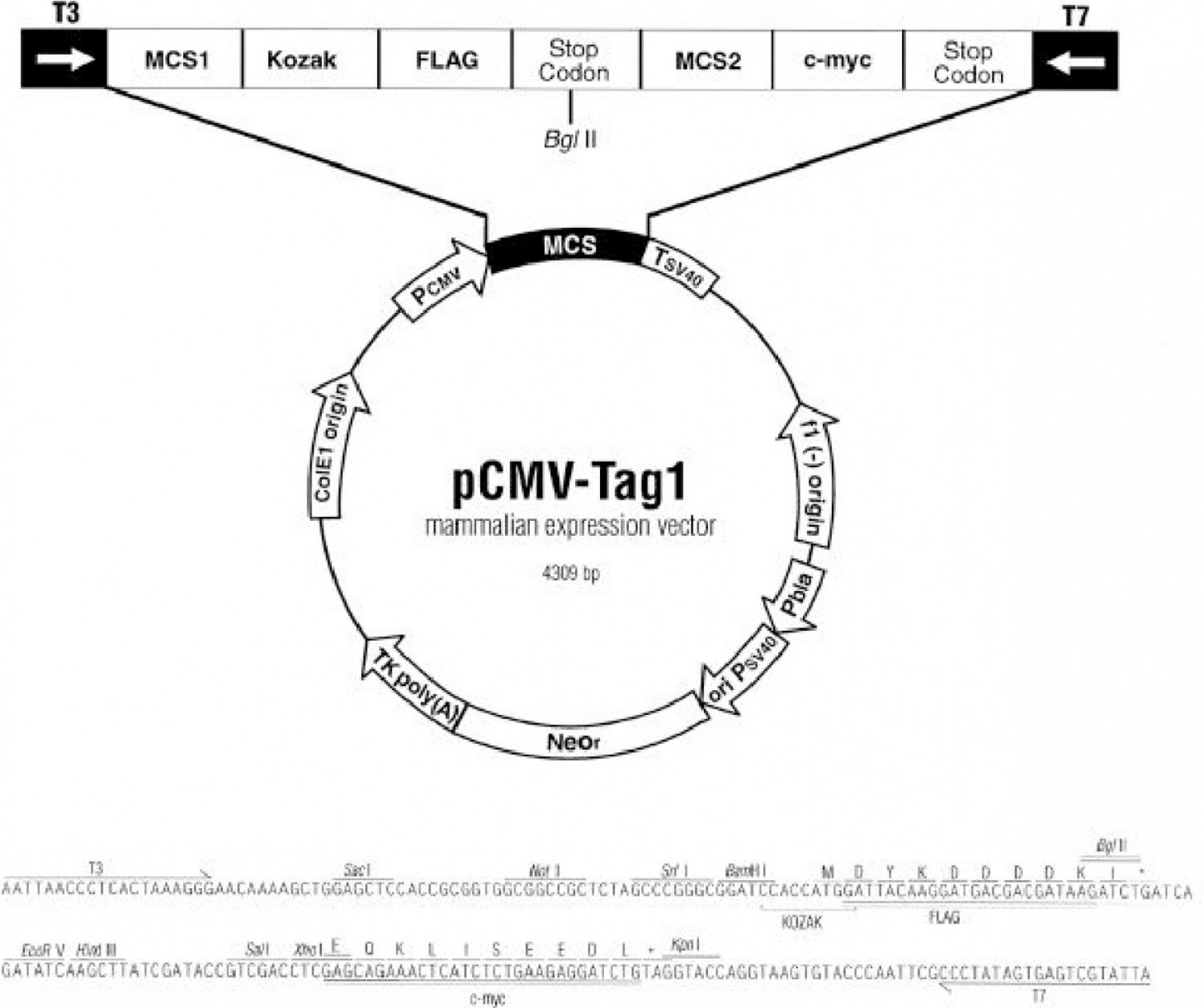 Mammalian Expression Vector: Versatile Epitope Tagging Vector For Gene In Cells