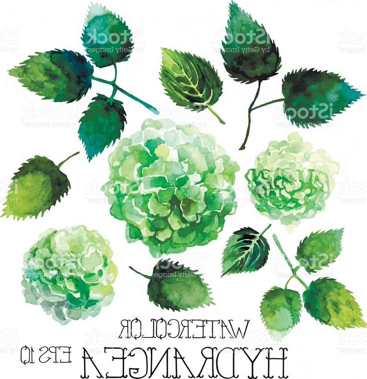 Hydrangea Vector Graphics: Watercolor Green Hydrangea Set Gm