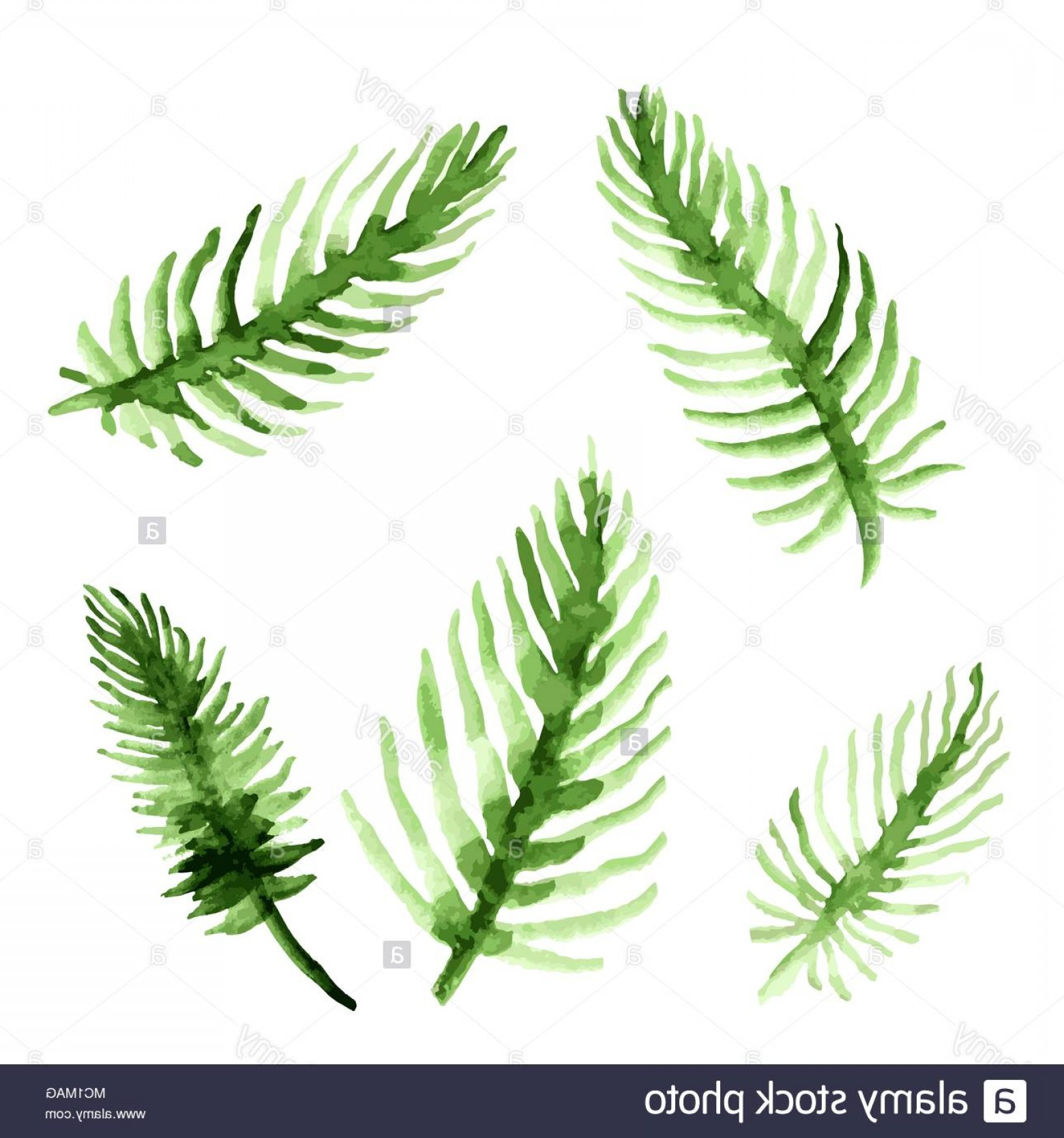 Watercolor Palm Tree Vector: Watercolor Palm Tree Leaves Set Green Fronds Collection Vector Illustration Isolated On White Background Image