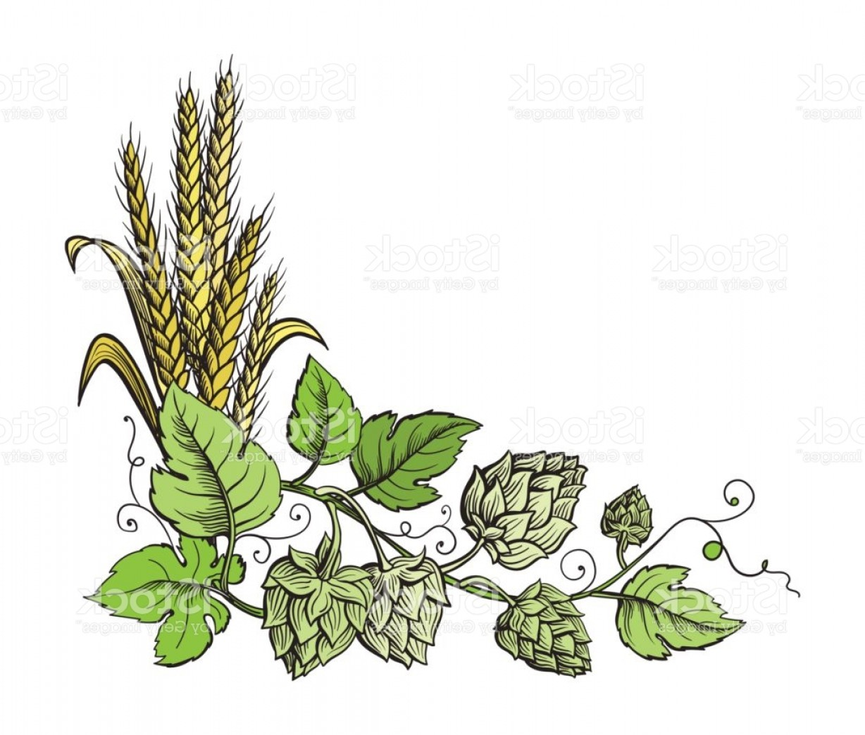 Hops Vector Art: Wheat And Beer Hops Branch With Wheat Ears Leaves And Hop Cones Gm
