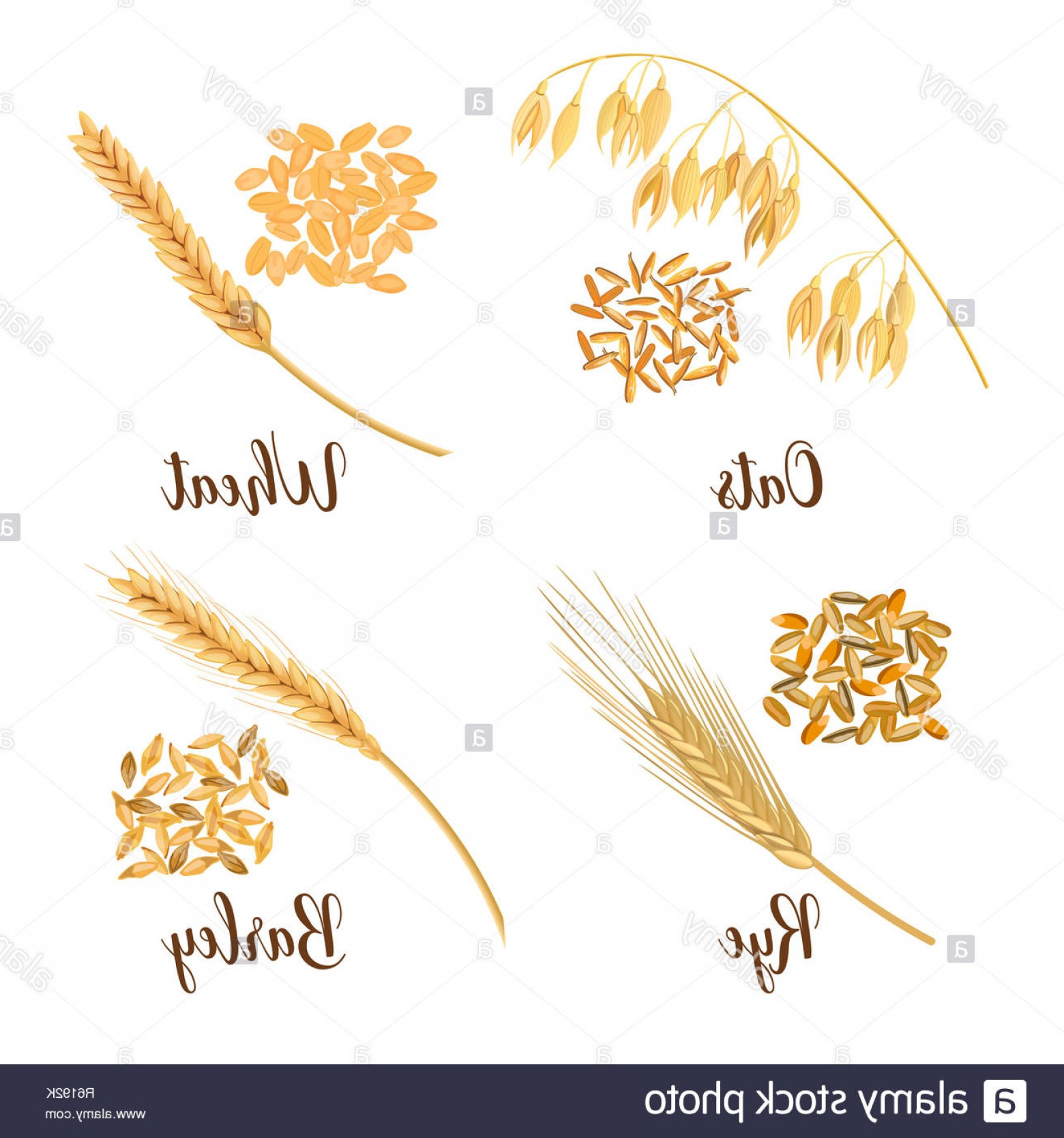Wheat Flourishes Vector: Wheat Barley Oat And Rye Cereals D Icon Vector Set Four Cereals Grains And Ears Image