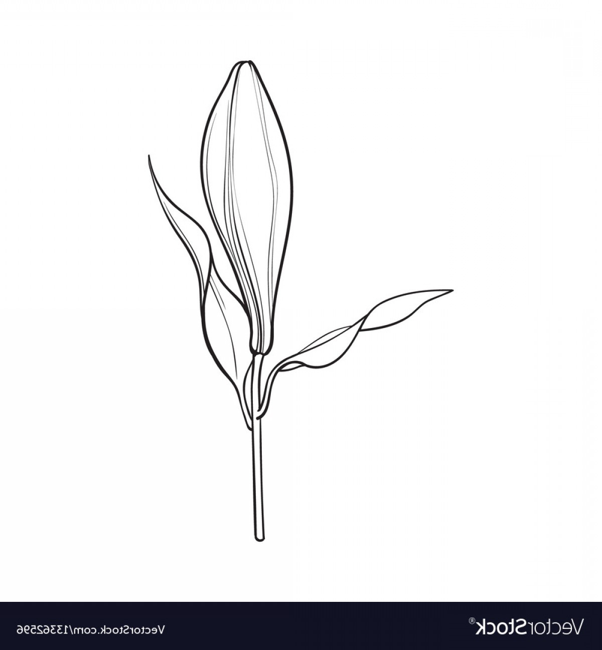 Bud Vector: White Lily Flower Bud With Stem And Leaves Side Vector