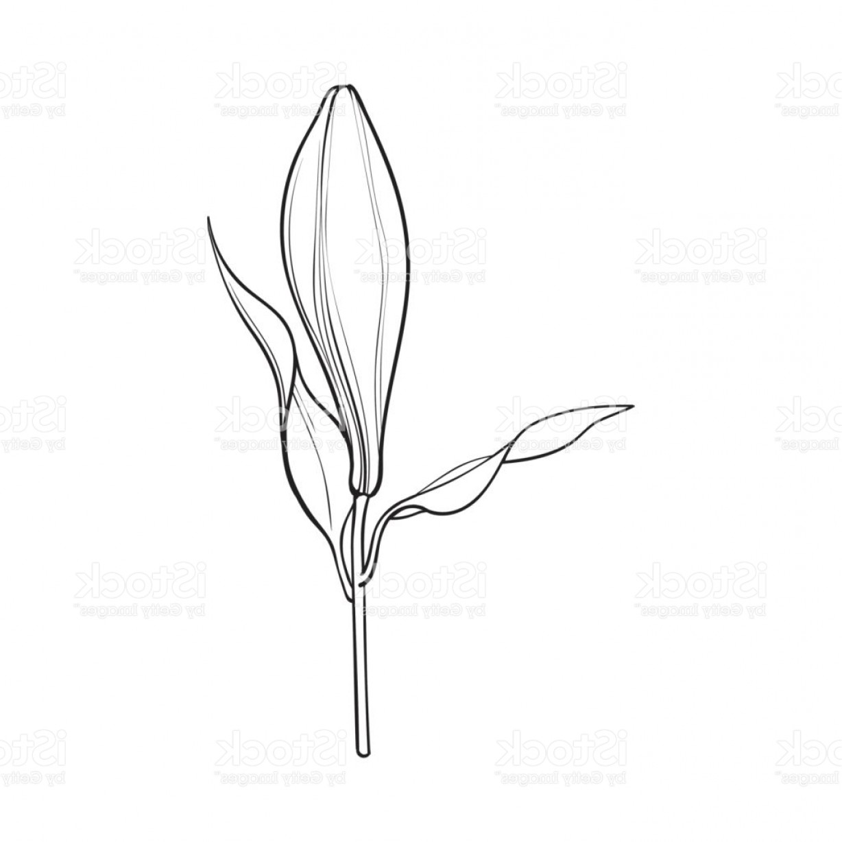 Bud Vector: White Lily Flower Bud With Stem And Leaves Side View Gm