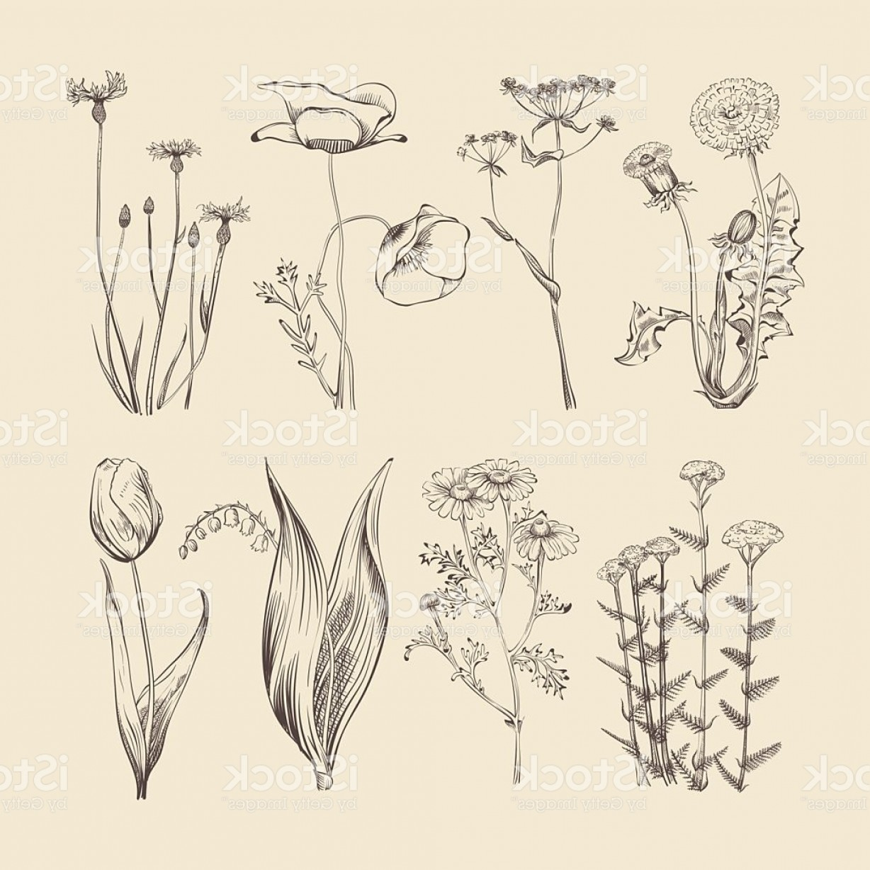 Botanical Flower Vectors: Wildflowers Herbs And Flowers Spring Or Summer Botanical Vector Collection Gm