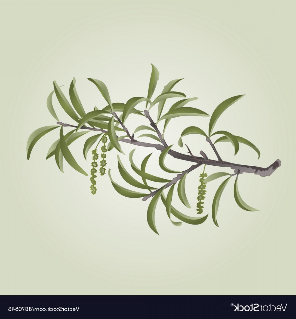 Vector Natural Willow: Willow Branch With Catkins Natural Background Vector
