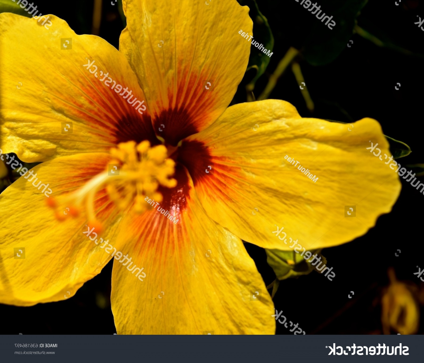 Hawaii State Flower Vector Art: Yellow Hibiscus Flower That State Hawaii